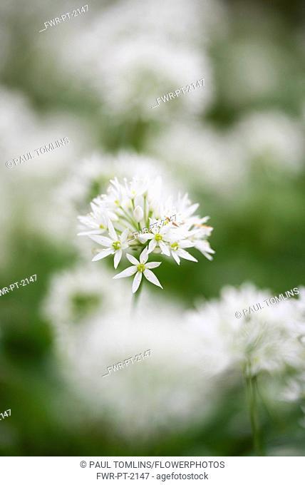 Allium, Garlic, Wild garlic, Allium ursinum, Side view of white flower growing outdoor