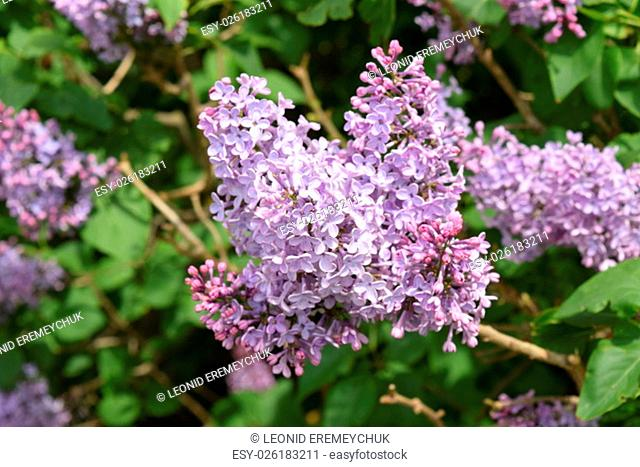The Lilac flowers. Spring blossoming of trees