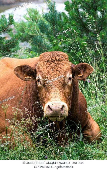 Portrait of a bull resting, Fontrabiouse, Vallée du Galbe, Capcir, Pyrénées-Orientales, France, Europe