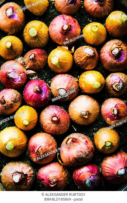 Close up of variety of onions