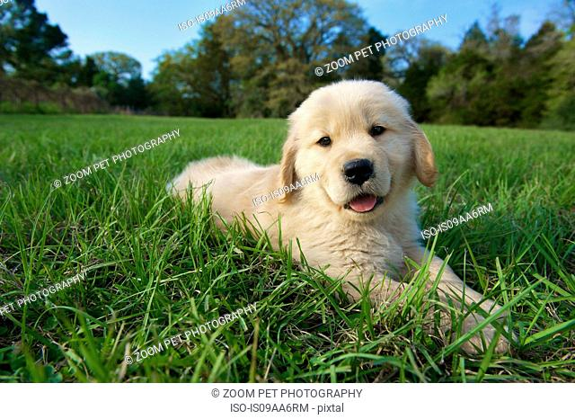 Golden retriever puppy lying down on grass