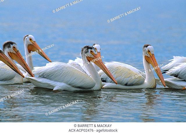 White pelicans Pelecanus erythrorhyncho, Hecla/Grindstone Provincial Park, Lake Winnipeg, Manitoba, Canada