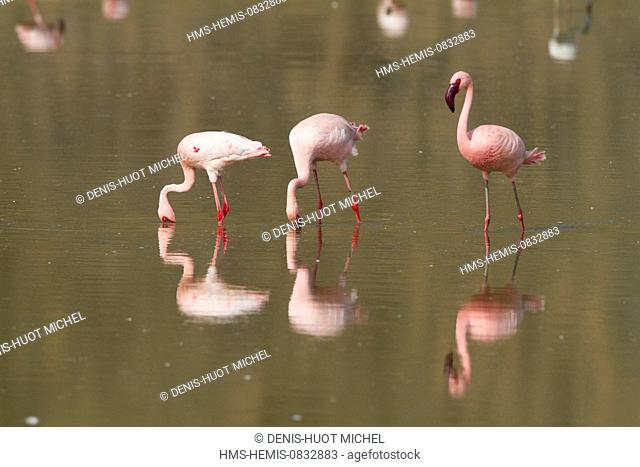 Kenya, Rift Valley, Magadi Lake, lesser flamingo (Phoeniconaias minor), feeding