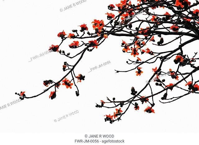 Magnolia campbellii 'Charles Raffill', Magnolia