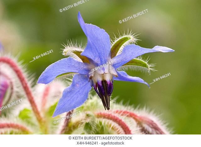 Flowerhead of borage, borago officinalis