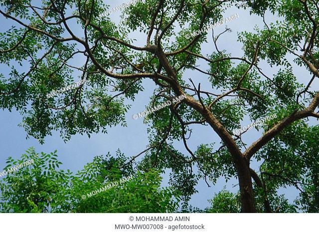 Tree Bangladesh 2007