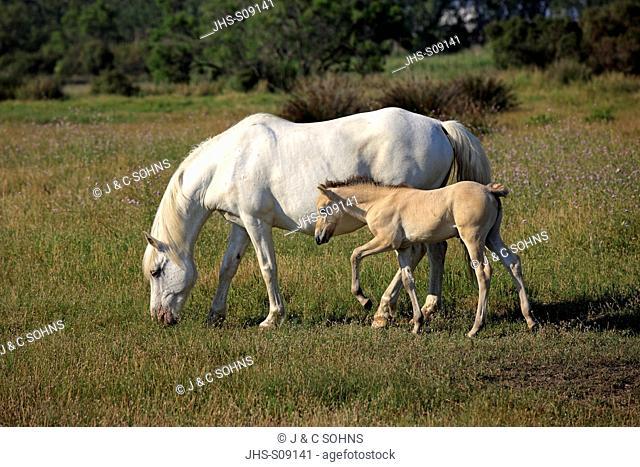 Camargue Horse,Equus caballus,Saintes Marie de la Mer,France,Europe,Camargue,Bouches du Rhone,mother with young