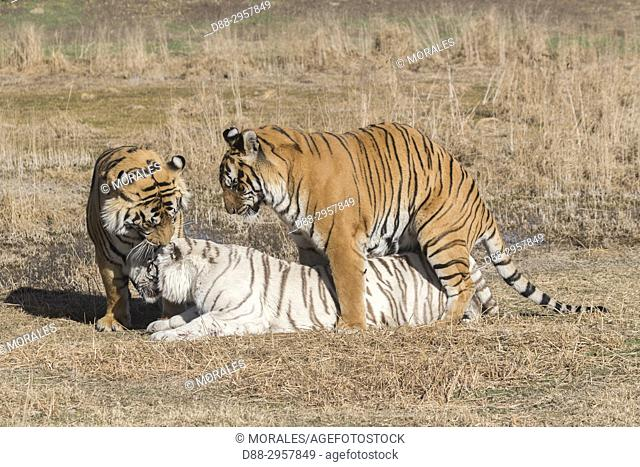 South Africa, Private reserve, Asian (Bengal) Tiger (Panthera tigris tigris), two normal (males) and one white (female) in rutting period