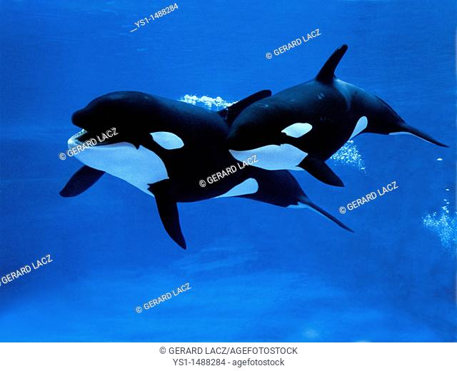 Killer Whale, orcinus orca, Female with Calf