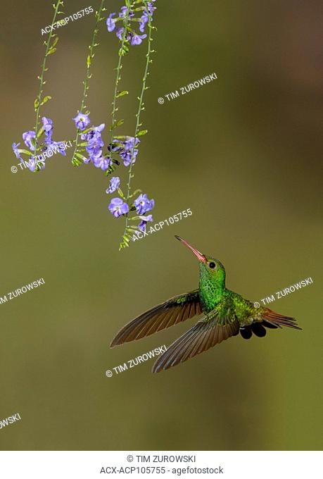 Rufous-tailed Hummingbird (Amazilia tzacatl) at the Nature Pavilion in La Virgen, Costa Rica