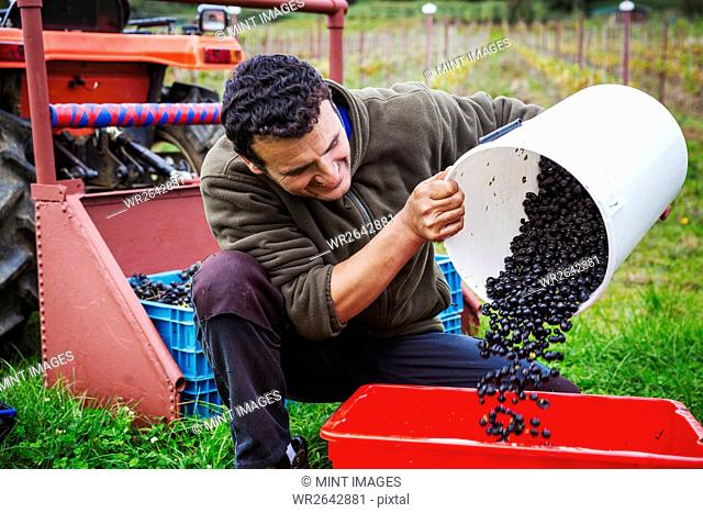 A man pouring red grapes into a red crate