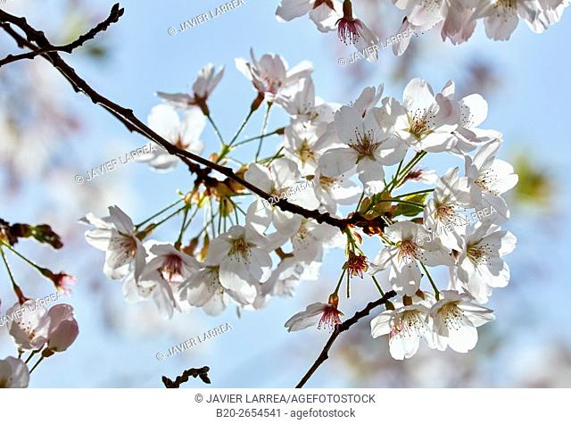 Trees in bloom. spring. Cristina Enea Park. Donostia. San Sebastian. Gipuzkoa . Basque Country. Spain. Europe