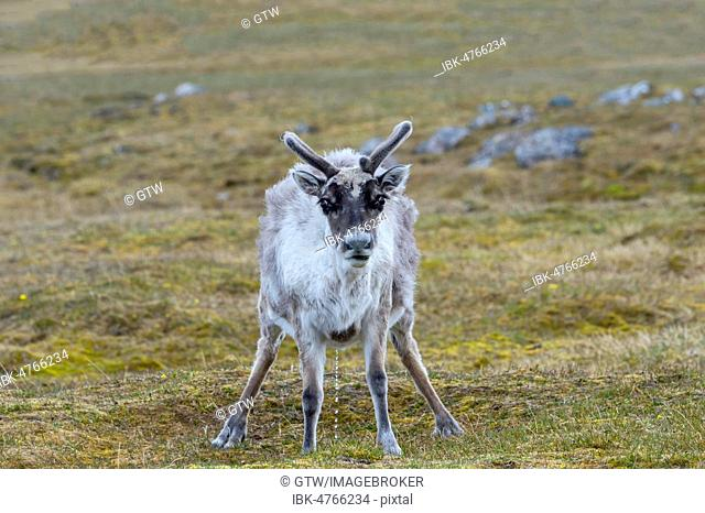 Svalbard Reindeer (Rangifer tarandus platyrhynchus) in the tundra, Spitsbergen Island, Svalbard archipelago, Norway