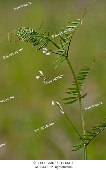 hairy tare, hairy vetch (Vicia hirsuta), blooming, Germany