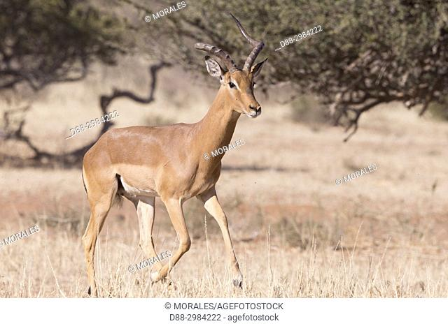 Africa, Southern Africa, South African Republic, Kalahari Desert, Impala (Aepyceros melampus), adult male with a broken horn