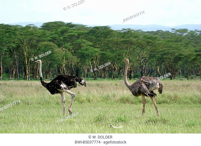 massai ostrich, masai ostrich, North African ostrich (Struthio camelus massaicus), cock and hen, Kenya, Lake Nakuru National Park