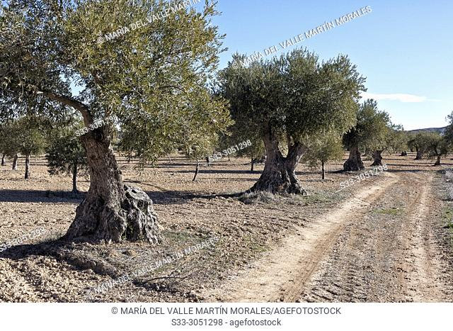 Path between the olive trees. Morata de Tajuña. Madrid. Spain