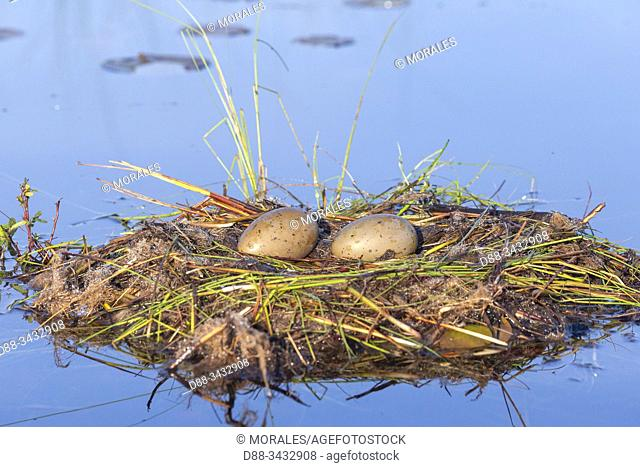 United States, Michigan, Common Loon (Gavia immer), nest on a lake