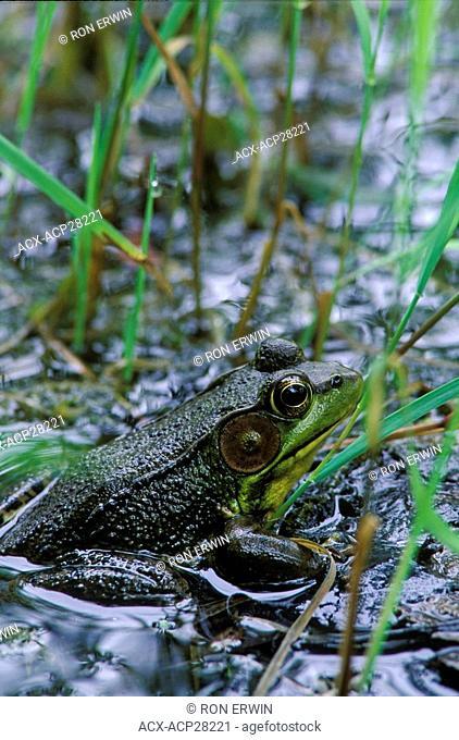 A male Green Frog Rana clamitans, Ontario, Canada