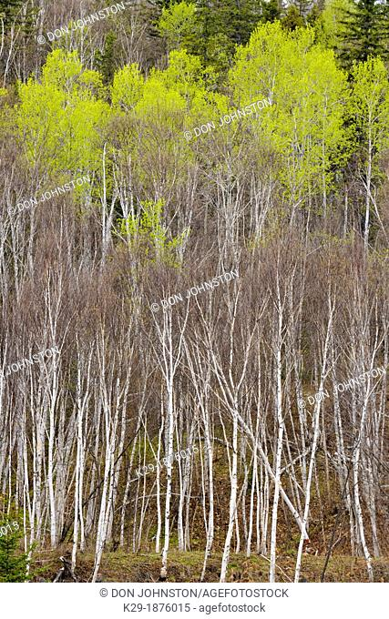 A hillside with spruce, aspen and birch in early spring, Greater Sudbury Lively, Ontario, Canada