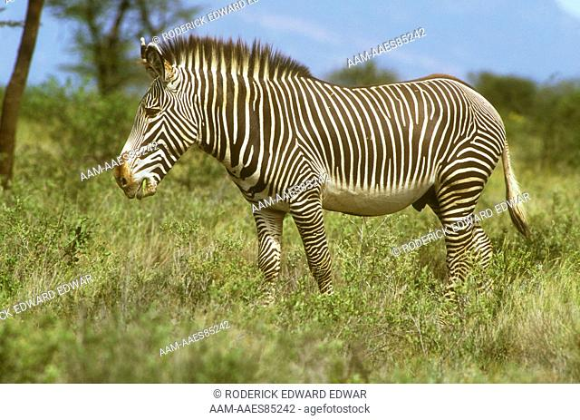 Grevy's Zebra Male Walking in Grass (Equus grevyi) Samburu NP, Kenya
