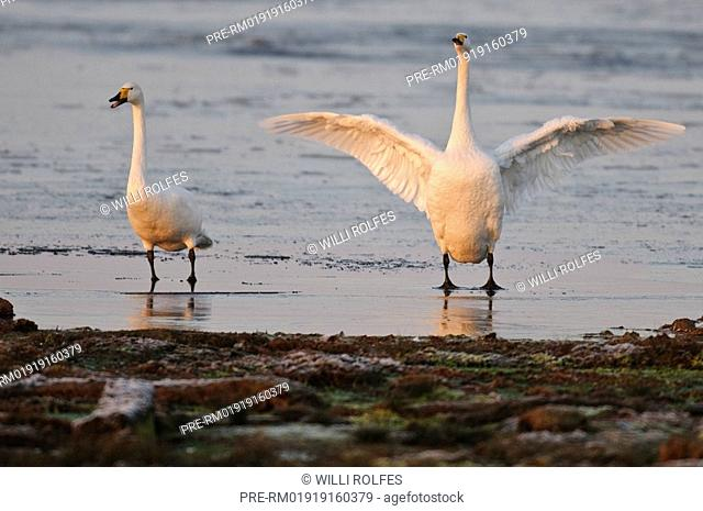 Whooper swans on a winterly lake, Cygnus cygnus, Goldenstedter Moor, Lower Saxony, Germany, Europe