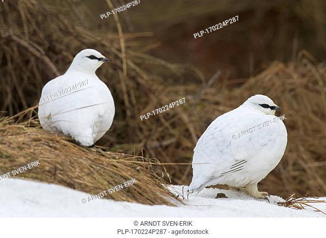 Rock ptarmigan (Lagopus muta / Lagopus mutus) pair, male and female in winter plumage
