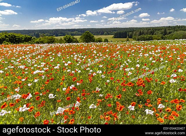 Poppy field, Vysoocina near Zdar nad Sazavou, Czech Republic