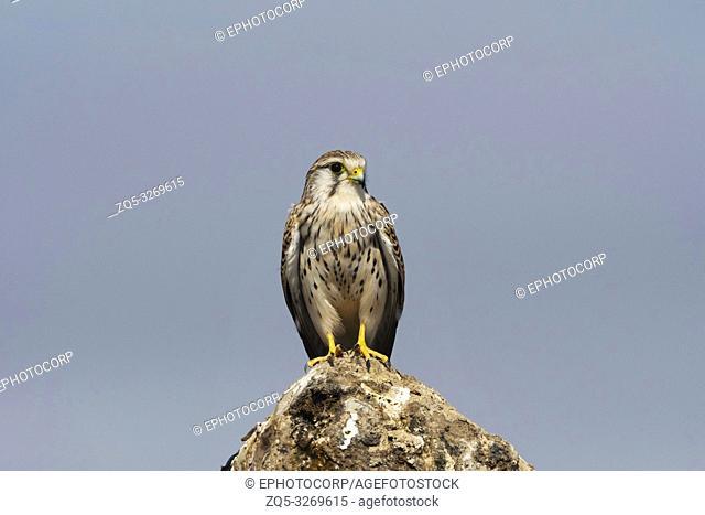 Common kestrel, Falco tinnunculus, Little rann of Kutch, Gujarat, India