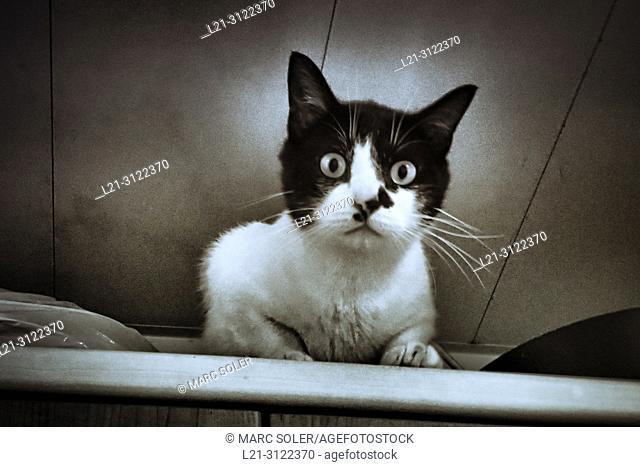 Domestic cat looking at camera