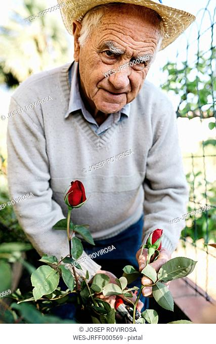 Portrait of senior man cutting rose in the garden