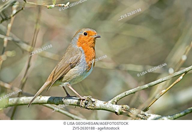 Robin-Erithacus rubecula. Spring. Uk