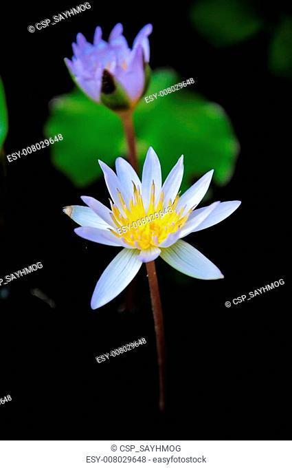 Lotus name's nymphaea stellata wild
