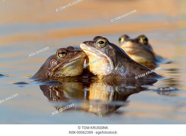Moor frog (Rana arvalis) in love, the Netherlands, Overijssel, Vriezenveen, Engbertsdijksvenen