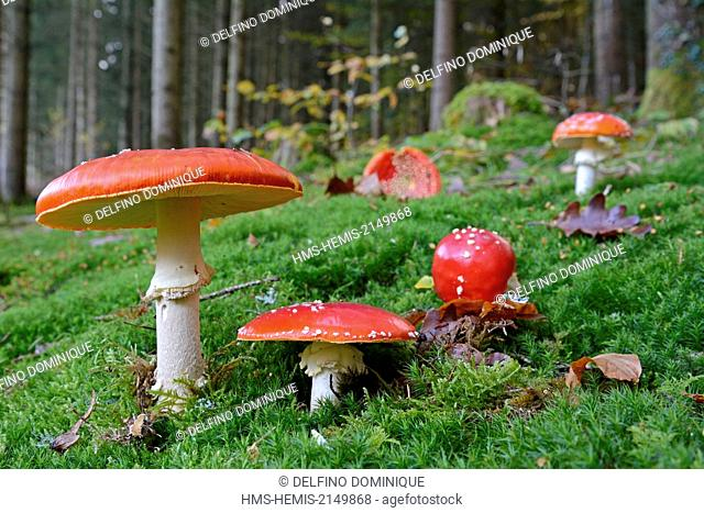 France, Doubs, Amanita fly agaric (Amanita muscaria) in a case of foam in a fir