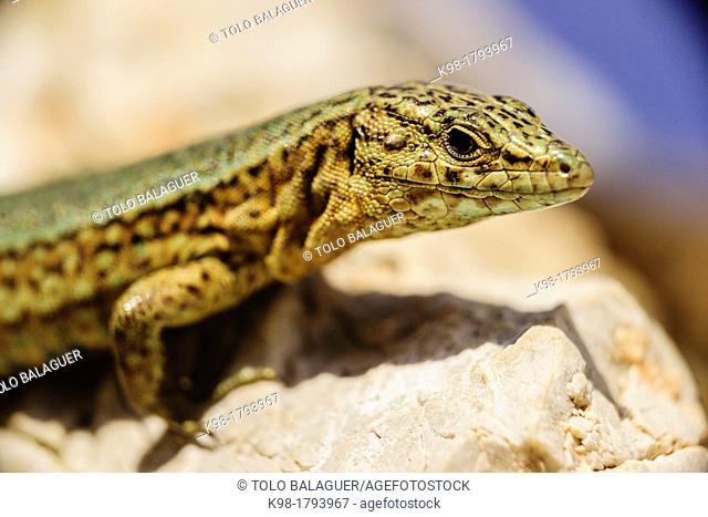 Sargantana, Podarcis lilfordi Giglioli, Natural Park Dragonera, Dragonera Island, Sierra de Tramuntana Majorca Balearic Islands Spain