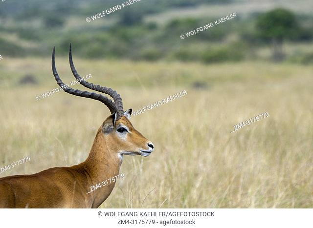 Close-up of a male Impala (Aepyceros melampus) in the grassland of the Masai Mara National Reserve in Kenya