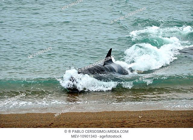 Orca / Killer Whale (Orcinus orca). hunting South American Sea Lion (Otaria flavescens) series 3 of 10 - Peninsula Valdes, Patagonia, Argentina, South Atlantic