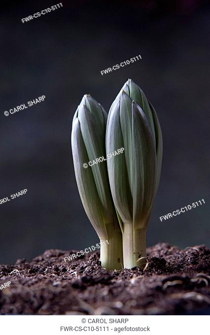 Crown imperial fritillary, Fritillaria imperialis, Very low side view of two plant shoots emerging from soil