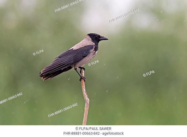 Hooded Crow (Corvus cornix) adult, perched on branch in rain, Danube Delta, Romania, June