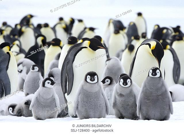 emperor penguins with cubs - Aptenodytes forsteri