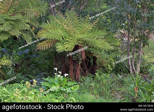 Cape Beaker Fern, (Cyathea capensis), Alsophila capensis, Cape Tree Fern, Kirstenbosch Botanical Garden, Cape Town, South Africa, Africa