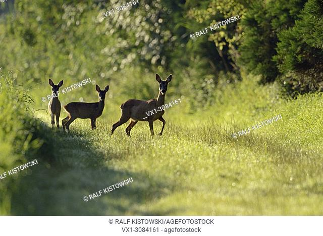 Roe Deer ( Capreolus capreolus ), adult female, leading two fawns along the edge of a forest over grassland, wildlife, Europe.