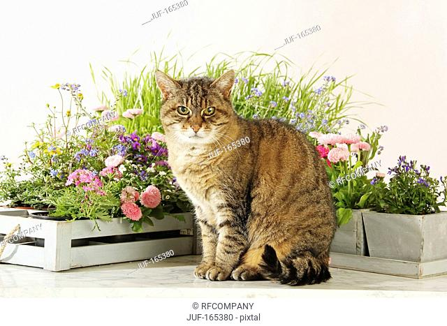 domestic cat - sitting in front of flowers