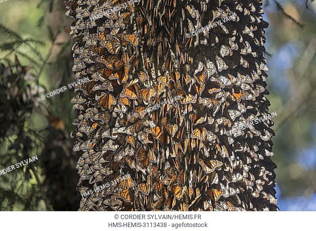 Mexico, State of Michoacan, Angangueo, Monarch Butterfly Biosphere Reserve Sierra Chincua, monarch butterfly (Danaus plexippus)
