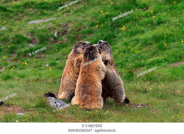 alpine marmot Marmota marmota, three individuals standing upright and quarrel, Austria, Grossglockner