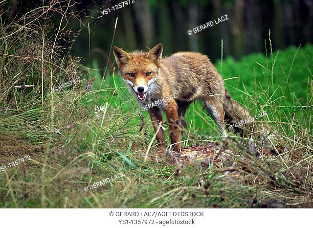 RED FOX vulpes vulpes, ADULT WITH A COMMON PHEASANT KILL, NORMANDY