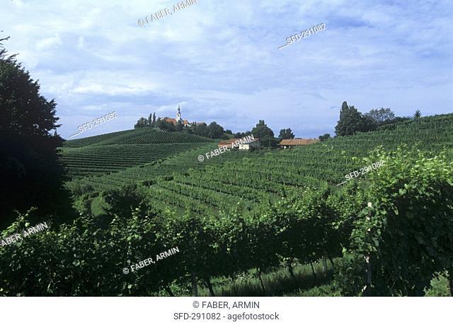 Landscape of vines, Jeruzalem, Slovenia