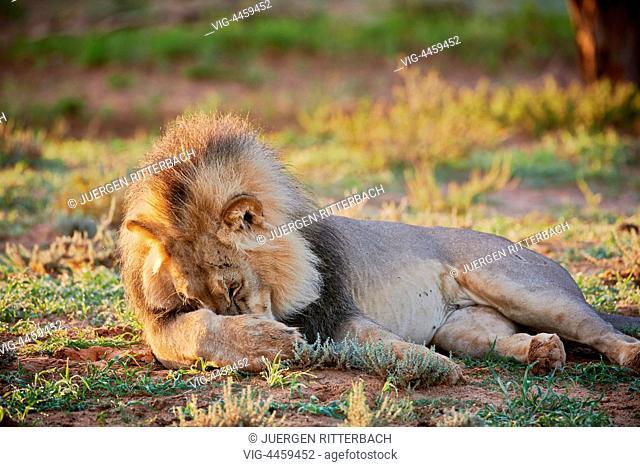 male lion (Panthera leo) Kgalagadi Transfrontier Park, Kalahari, South Africa, Botswana, Africa - Kgalagadi Transfrontier Park, South Africa, Botswana