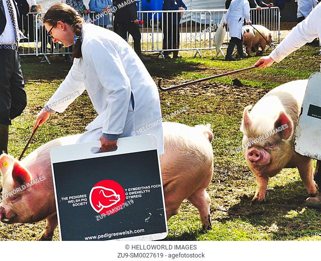 Woman from the Pedigree Welsh Pig Society controlling pig with stick at the Three Counties Show 2019, Malvern, Worcestershire, England
